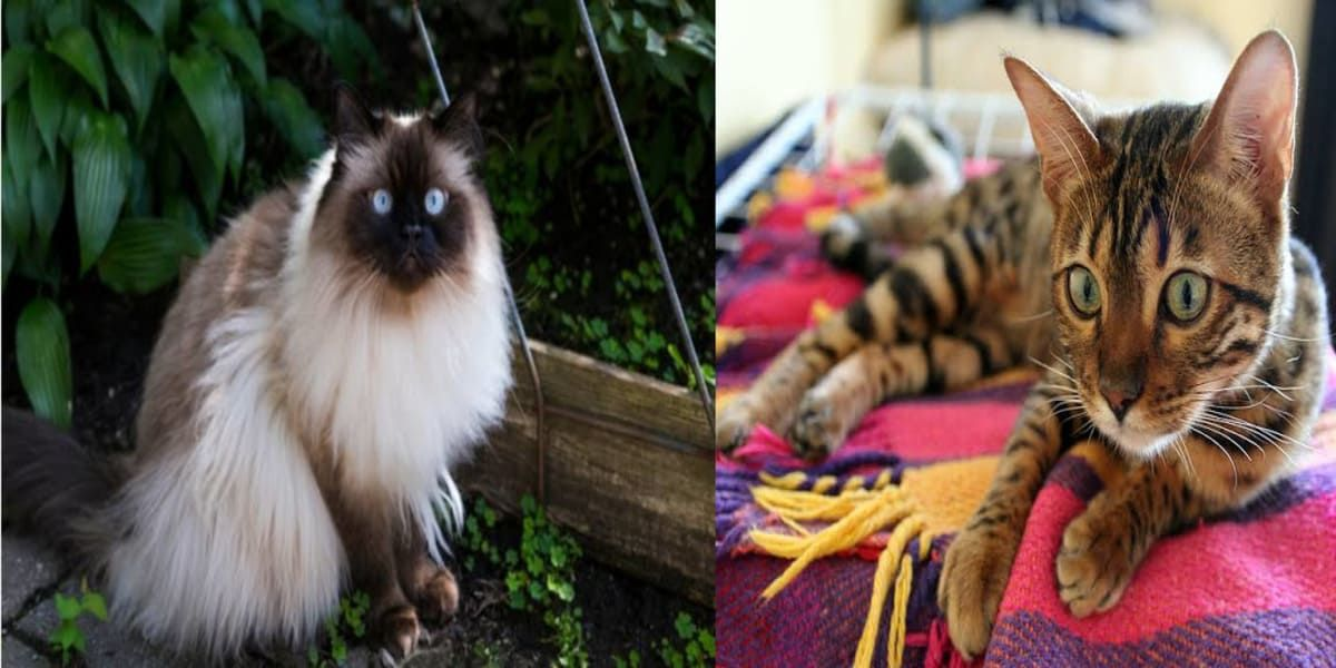 Most Popular Cat Breeds In India To Look Out For If You Are Considering To Get A Pet In 2020 Popular Cat Breeds Most Popular Cat Breeds Cat Breeds