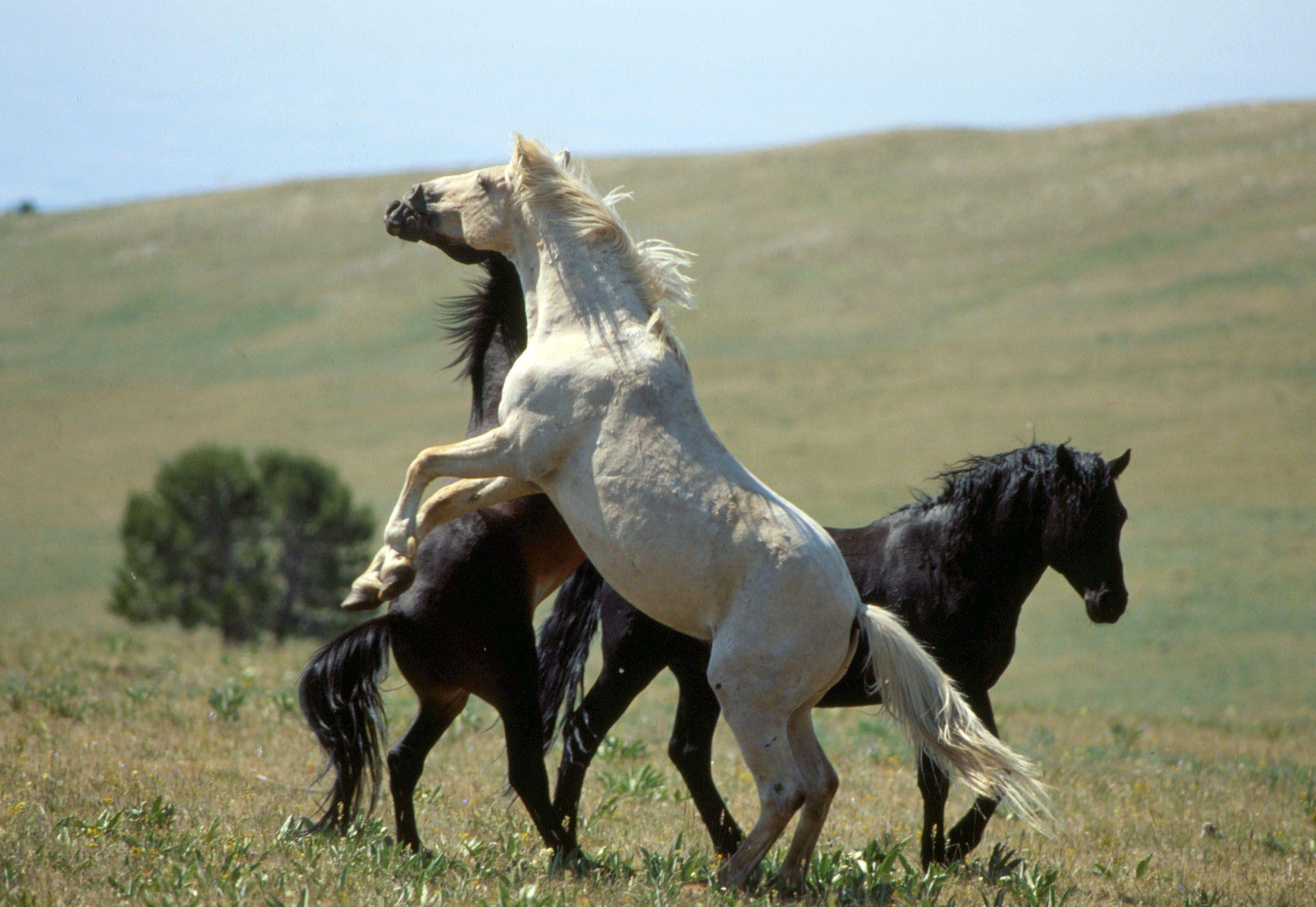 mustangs pferde Cloud Ein wilder Hengst in den Rocky