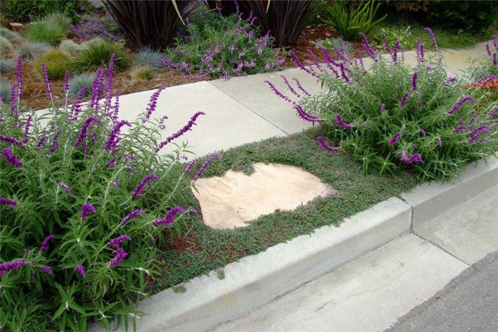 creeping thyme and sage sidewalk