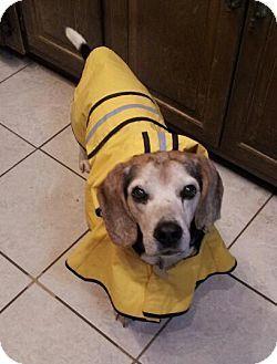 Seymour Nashville Tn Beagle Mix Meet Seymour A Dog For