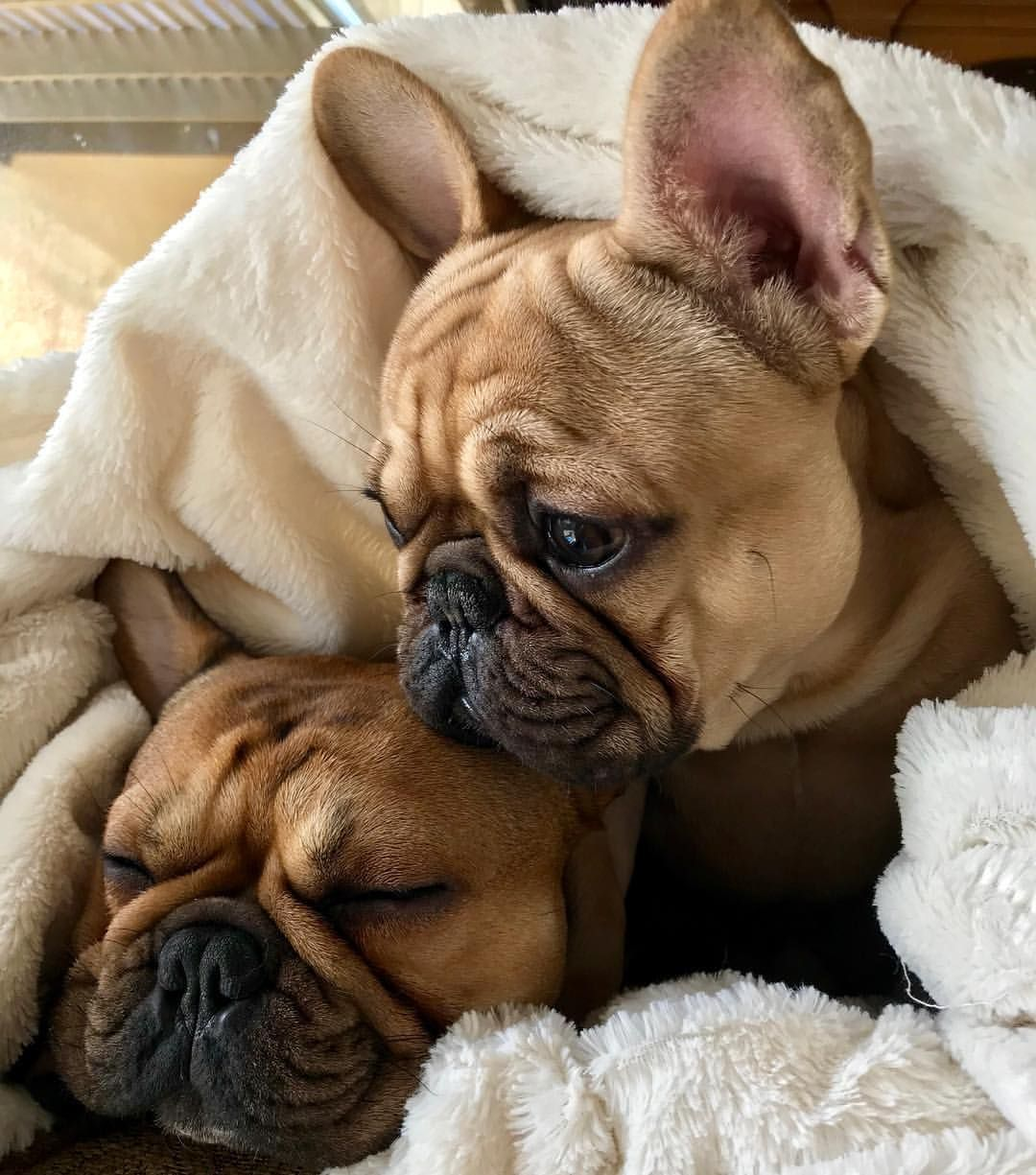 Monday Rainy Day Snuggles Bulldog Puppies French