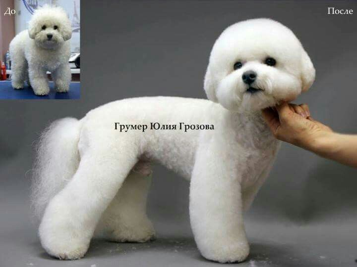 Bichon Frise Puppy Cut