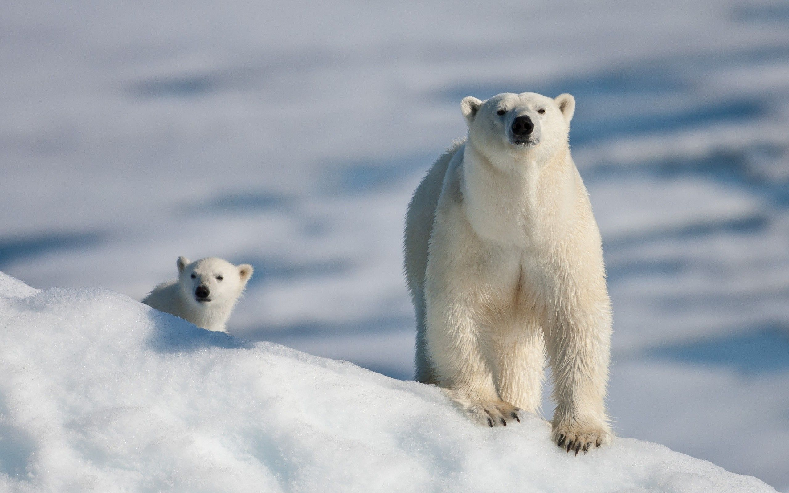 Animal Polar Bear Wallpaper Polar Bear Baby Polar Bears Cute Polar Bear