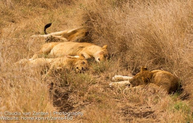 As I already mentioned in my previous blog post; we had some lions in the neighbourhood at the start of the weekend and they kept as quite busy for some days. On Saturday morning the male lion woke...