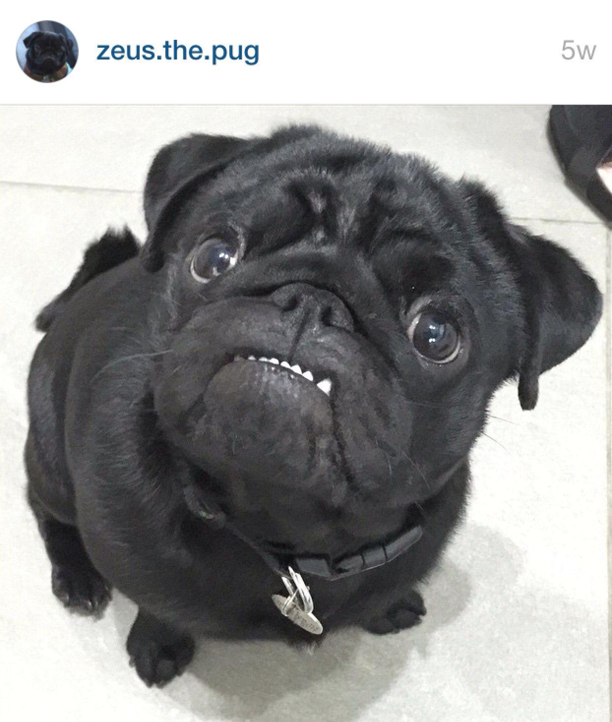 Perfect Pug Teeth Pugs Pugs Funny Cute Pugs