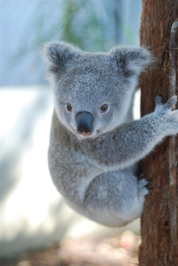 Orphaned Baby Koala Story Has A Happy Ending | Baby koala ...