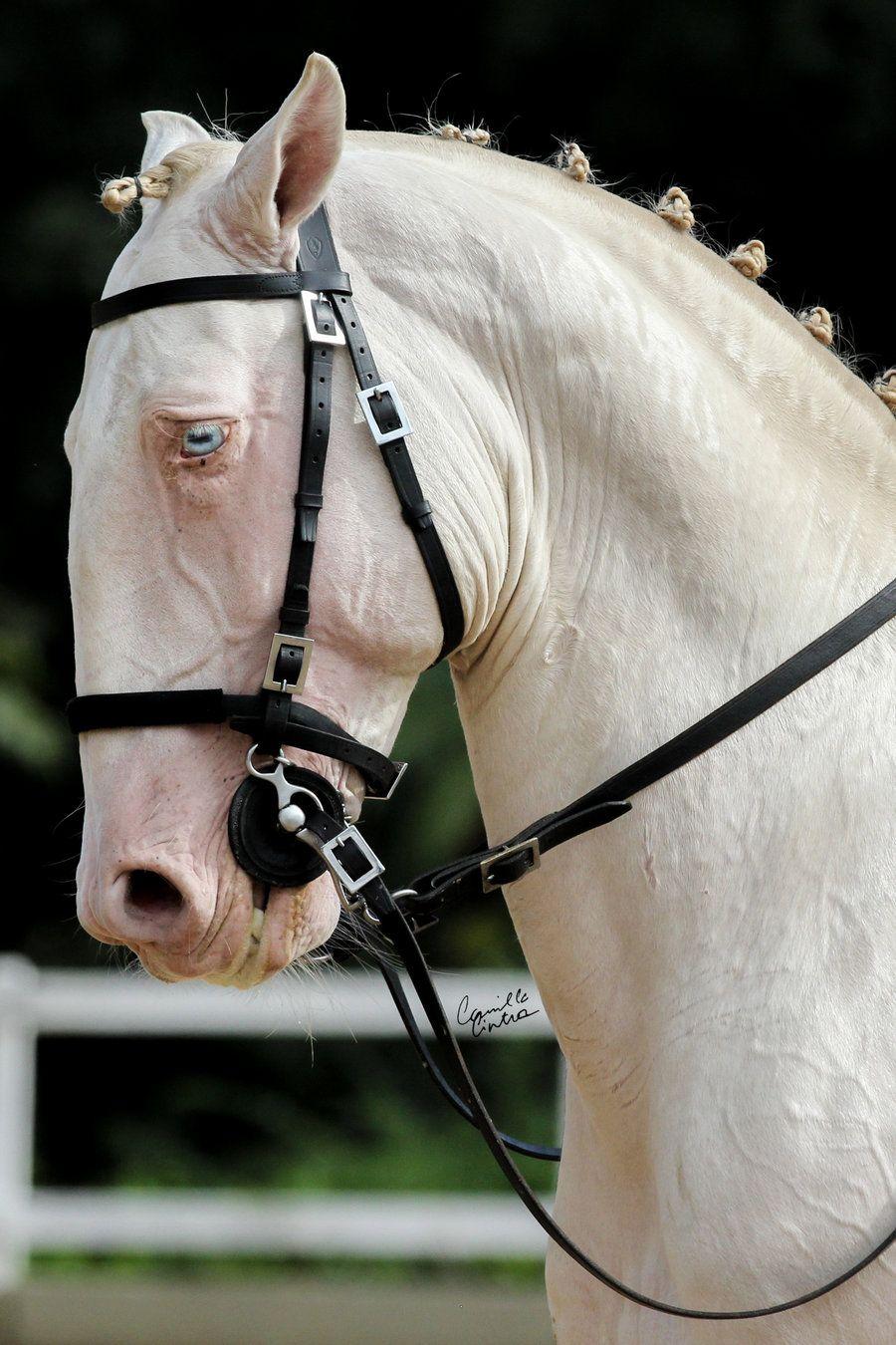 Blue Eyed White Horse Performing C 2018 Cc Photoart White