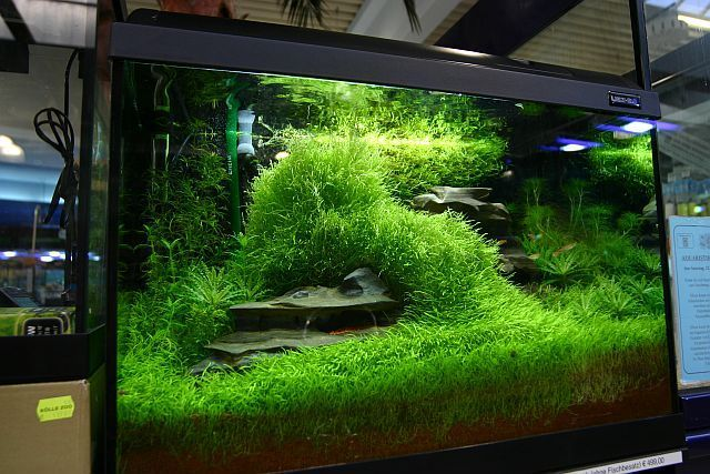 utricularia graminifolia plantes et v g tation plantes. Black Bedroom Furniture Sets. Home Design Ideas