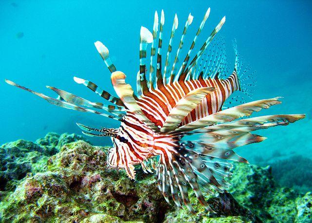 Lion Fish In Thailand S Similan Islands Lion Fish Marine Life Marine Animals