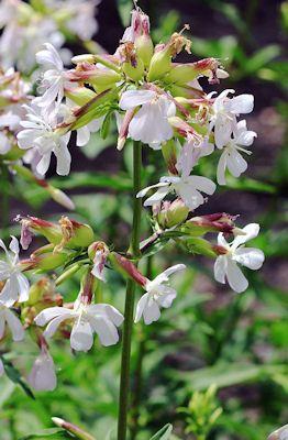 How to Grow Soapwort (The original gentle cleaner) Saponaria officinalis, zeepkruid, flower you can eat