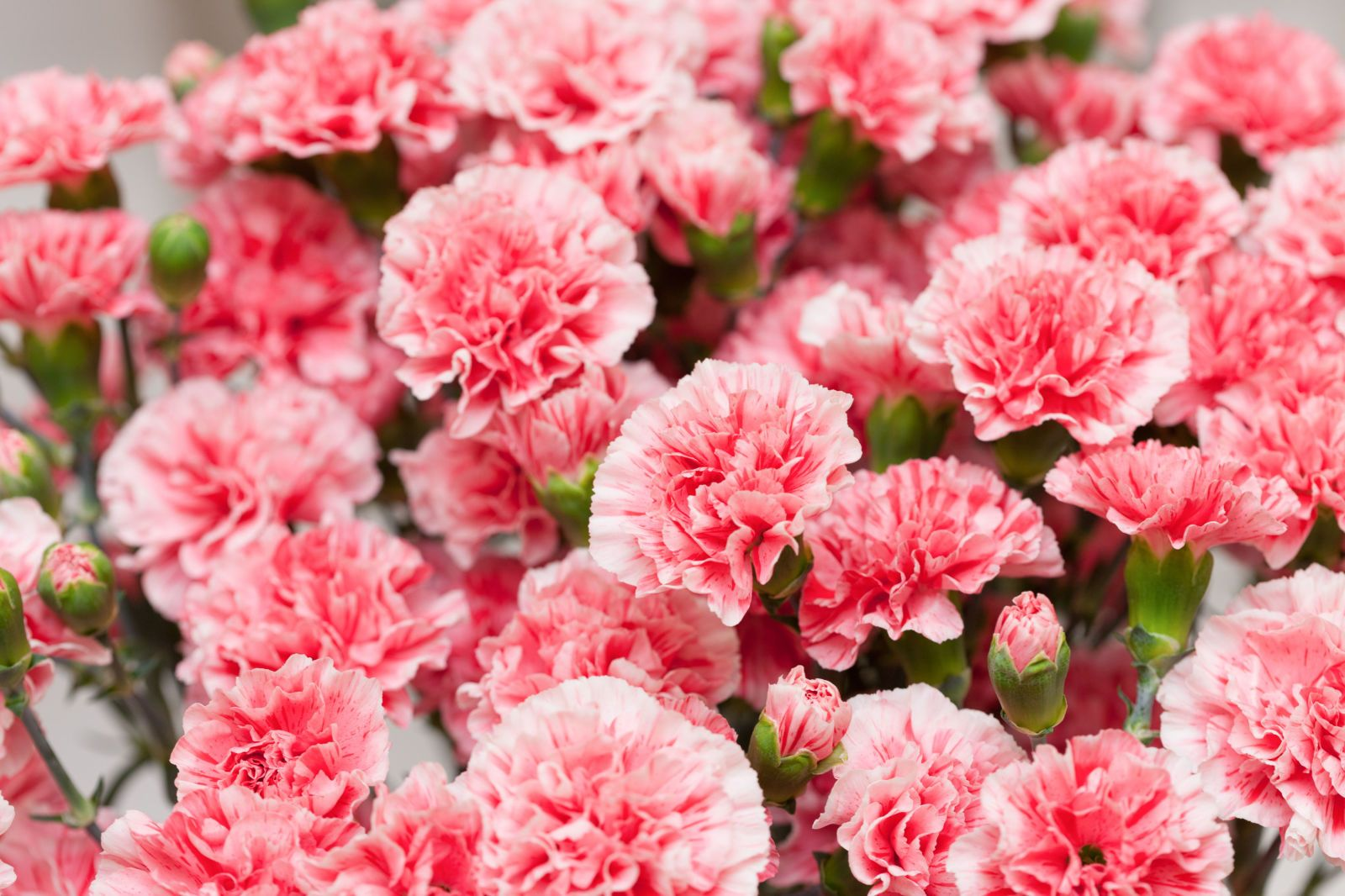 9 Reasons Carnations Are Actually The Best Carnation Plants Carnation Flower Carnations
