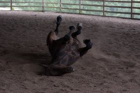 An ex-track thoroughbred taking a good roll after a jumping lesson.  He is a rescue horse with the Cowgirl Spirit Rescue Drill Team named Ready Say Go. He is also in a photo contest at Viewbug called the 4-legged photo contest, so stop by and vote for him.