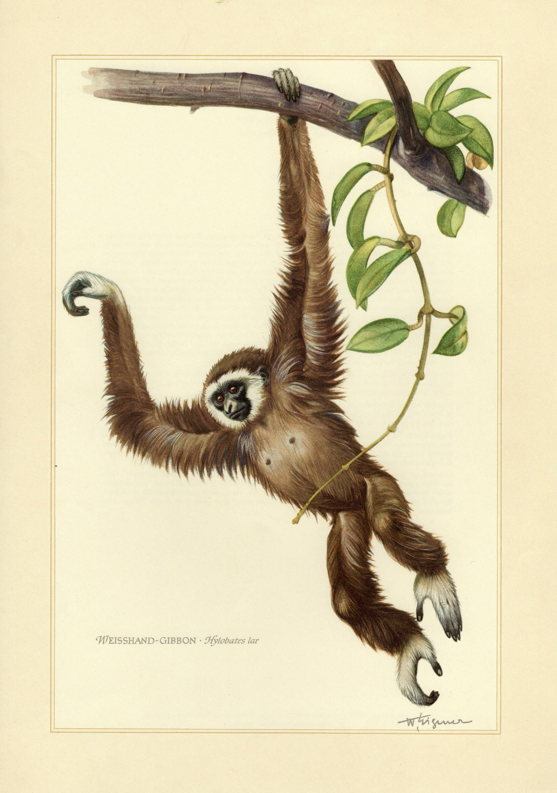 Lar Gibbon Vintage Lithograph From 1956 In 2020 Vintage