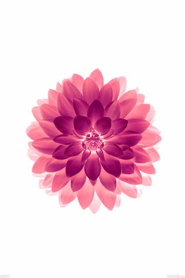 FreeiOS7 - ad77-apple-red-on-white-lotus-iphone6-plus-ios8-flower - http://bit.ly/1uEXksN - freeios7.com