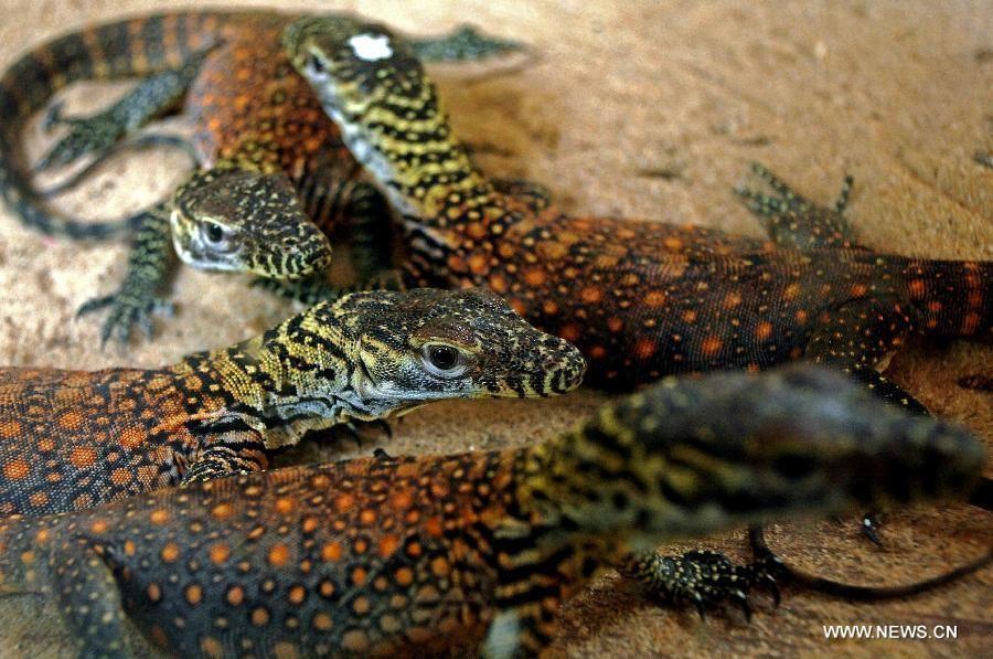 baby Komodo dragons | Lizards + Chameleons | Pinterest |Cute Baby Komodo Dragons