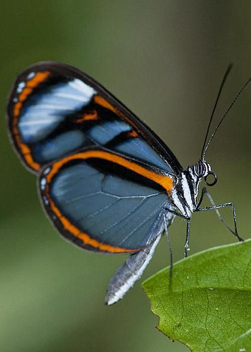 Lavinia Glasswing by William H. Mullins