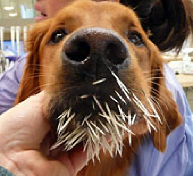 bf4e052aef45d5bbba7fede979825057 - How To Get Porcupine Quills Out Of A Dog