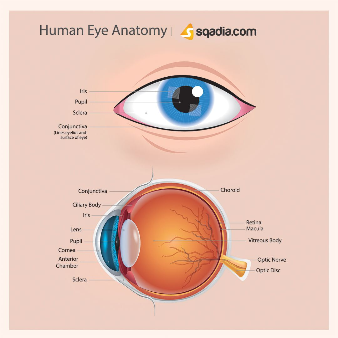 The Human Eye Is An Organ Which Reacts To Light And