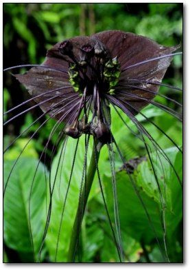 Nature And More The Extravagant Black Bat Flower The Unusual Bat Flower Bat Plant Black Flowers