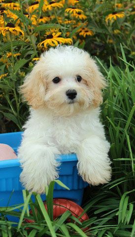 Availability Cavachon Puppies Cavachon Puppies