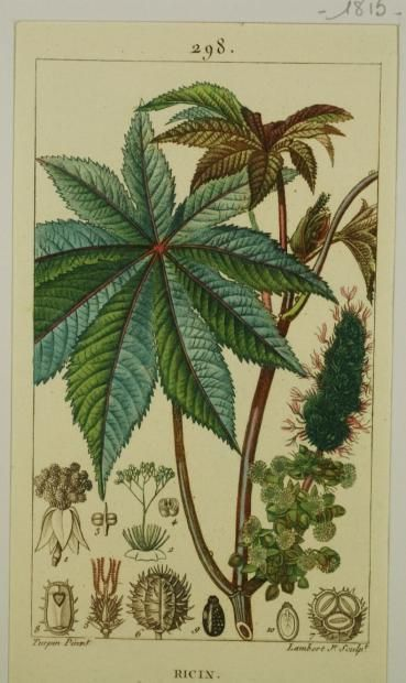 Ricin is a highly toxic, naturally occurring lectin (a carbohydrate-binding protein) produced in the seeds of the castor oil plant, Ricinus communis. A dose of purified ricin powder the size of a few grains of table salt can kill an adult human. BOTANIQUE & HISTOIRE NATURELLE