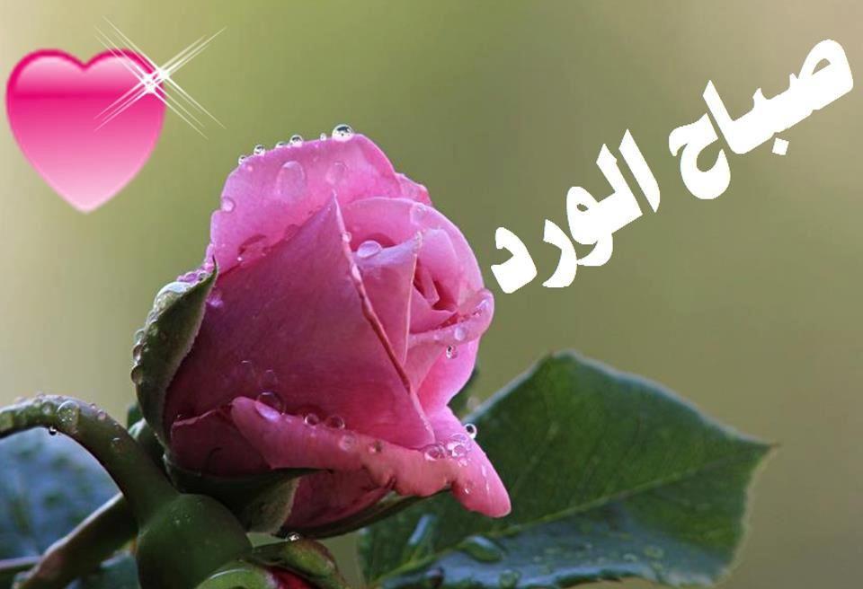 مدونتـــــــــــــــــــــــى صبـــــــــــــاح الخيـــــر Rose Flowers Plants