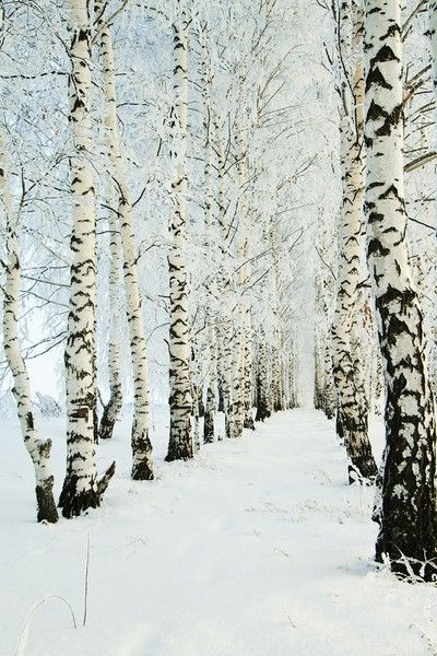 winter birch..  like the nature black and white