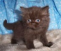 Chocolate Colored Kitten Awww Persian Kittens Persian Kittens