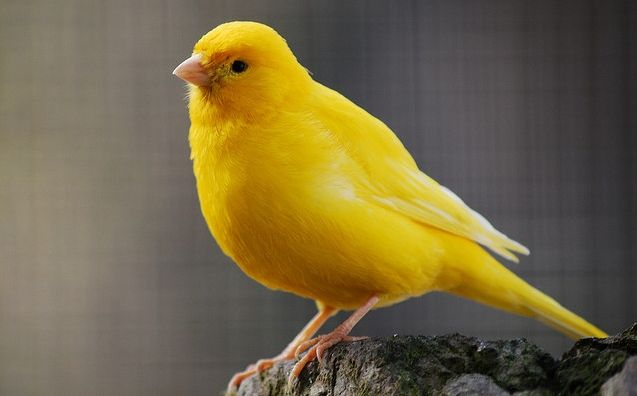Types Of Birds Canary Informations Pictures Birds Gallery