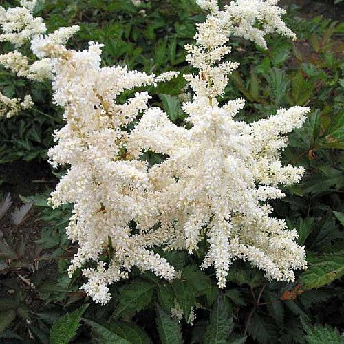 Deutschland False Spirea Astilbe Chinensis Very Hardy Quart Pot Astilbe Japonica Astilbe Flowers Perennials