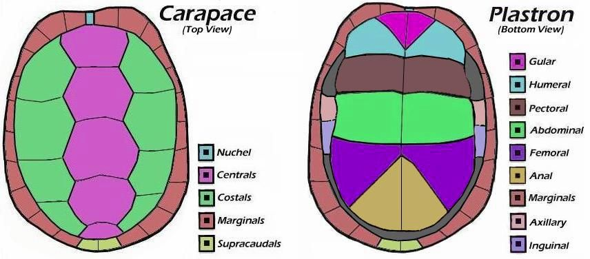 Turtle Shell Anatomy Biology Ylp Topic Pinterest Turtle