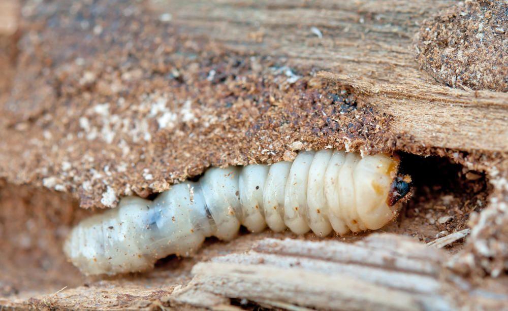 Holzwurmer Naturlich Bekampfen Holzwurm Holzwurmer Bekampfen Wurm