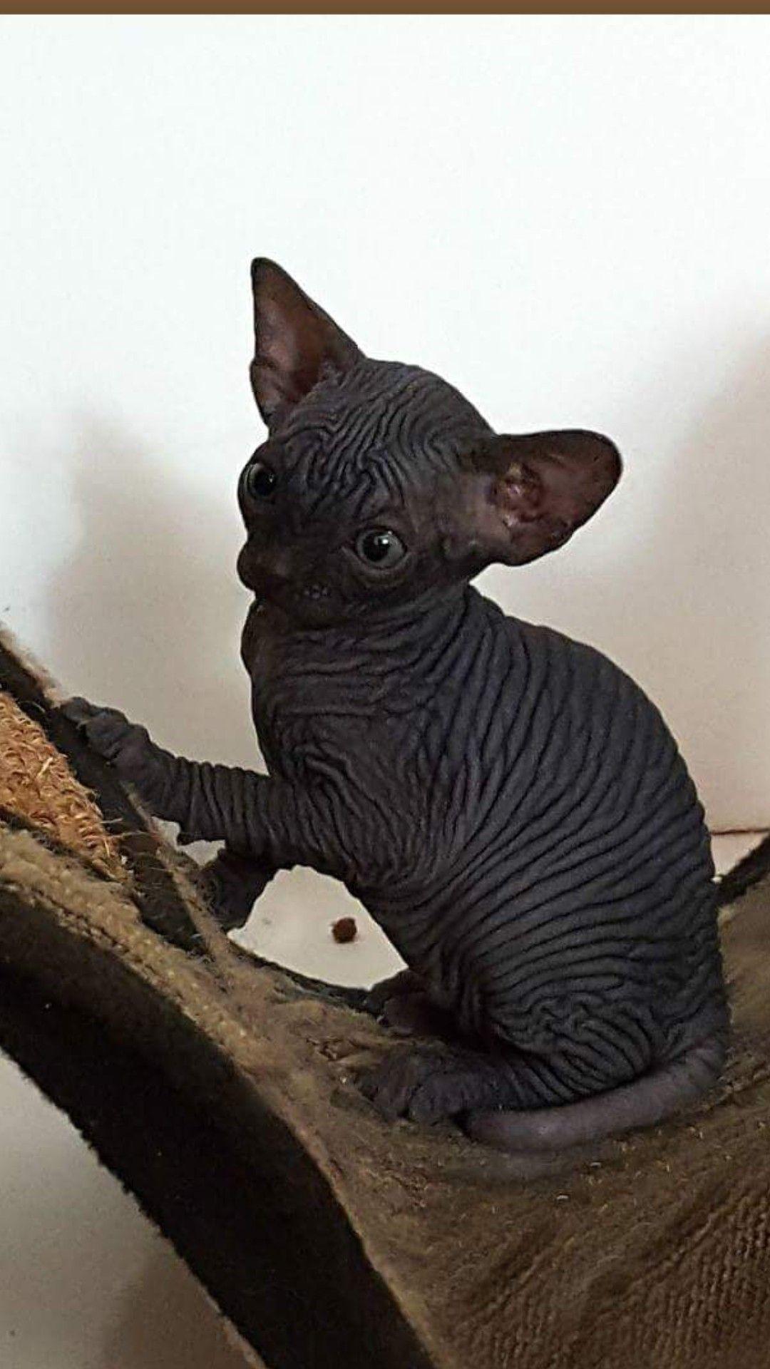 My baby boy Zazel Pretty cats, Cute animals, Hairless cat