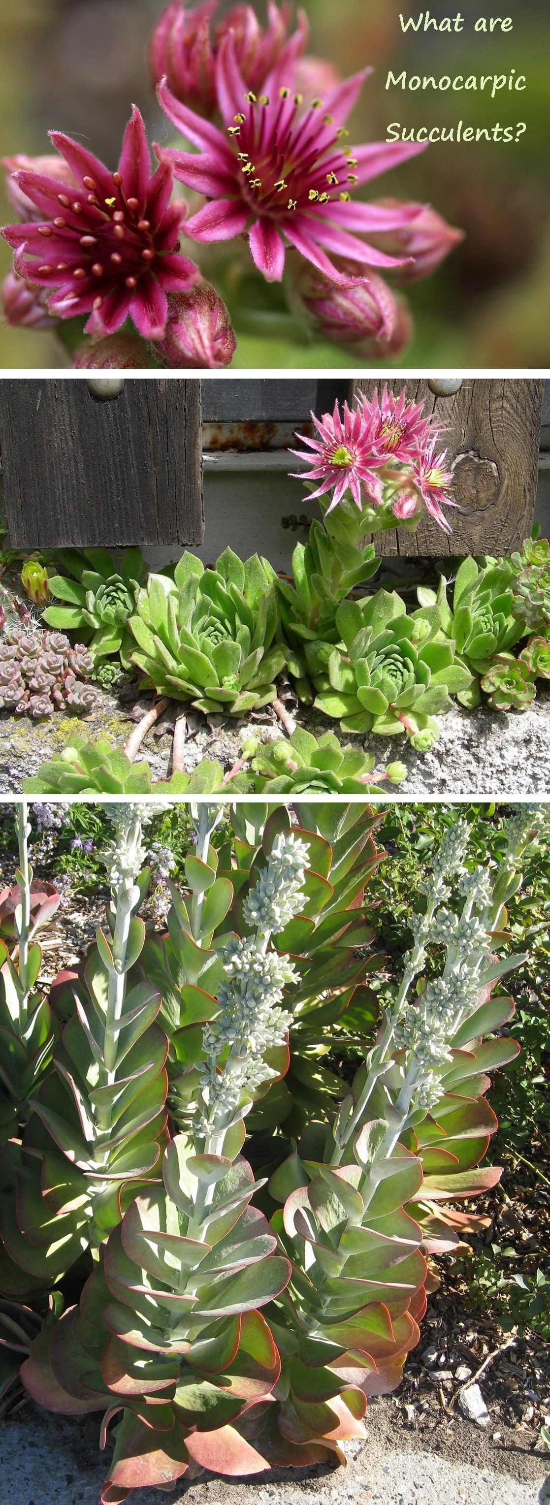 Which Succulents Die After Blooming And Just How Dead Do