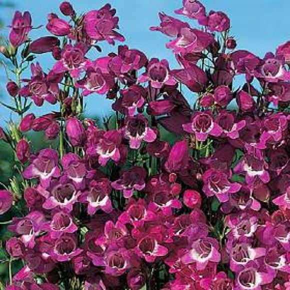 Miniature Bells Beardtongue Perennial Pinkpurple Bloom All