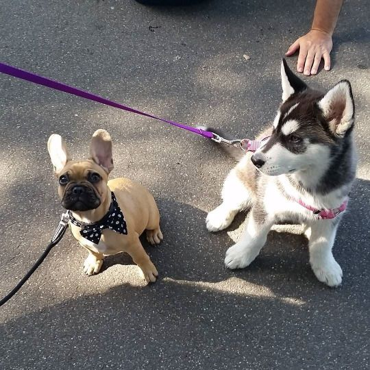 French Bulldog And Husky Puppies Cute Animals Cute Dogs
