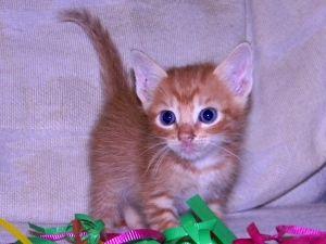 Milo Is An Adoptable Tabby Orange Cat In San Antonio Tx Cute Cats Animals Beautiful Orange Tabby