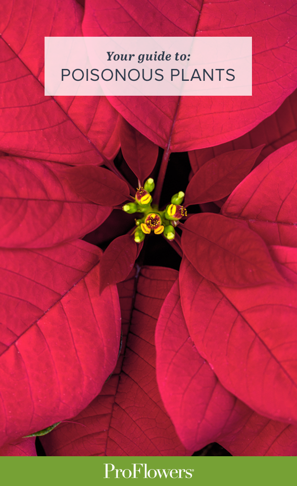 199 Poisonous Plants To Keep Away From Humans Dogs Cats Poinsettia Christmas Flowers Plants
