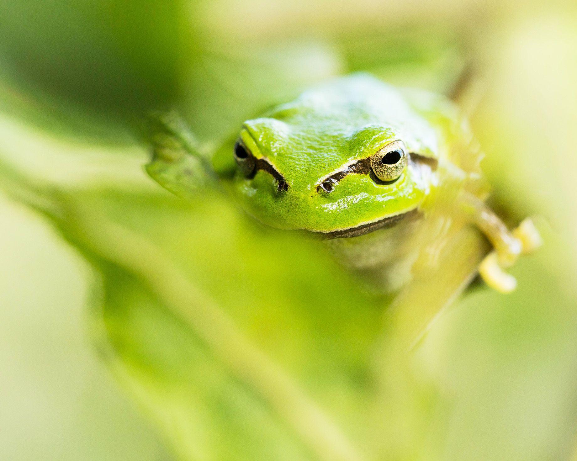 Tree Frog, Österlen, Skåne, South of Sweden