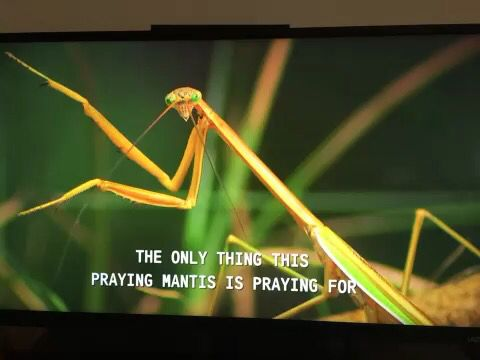 The only thing a praying mantis prays for.. Is another meal. Baha