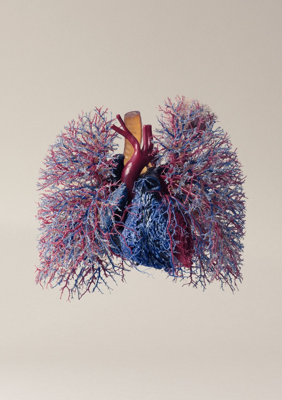 Vascularización del corazón y los pulmones. Imagen de Joakim ...