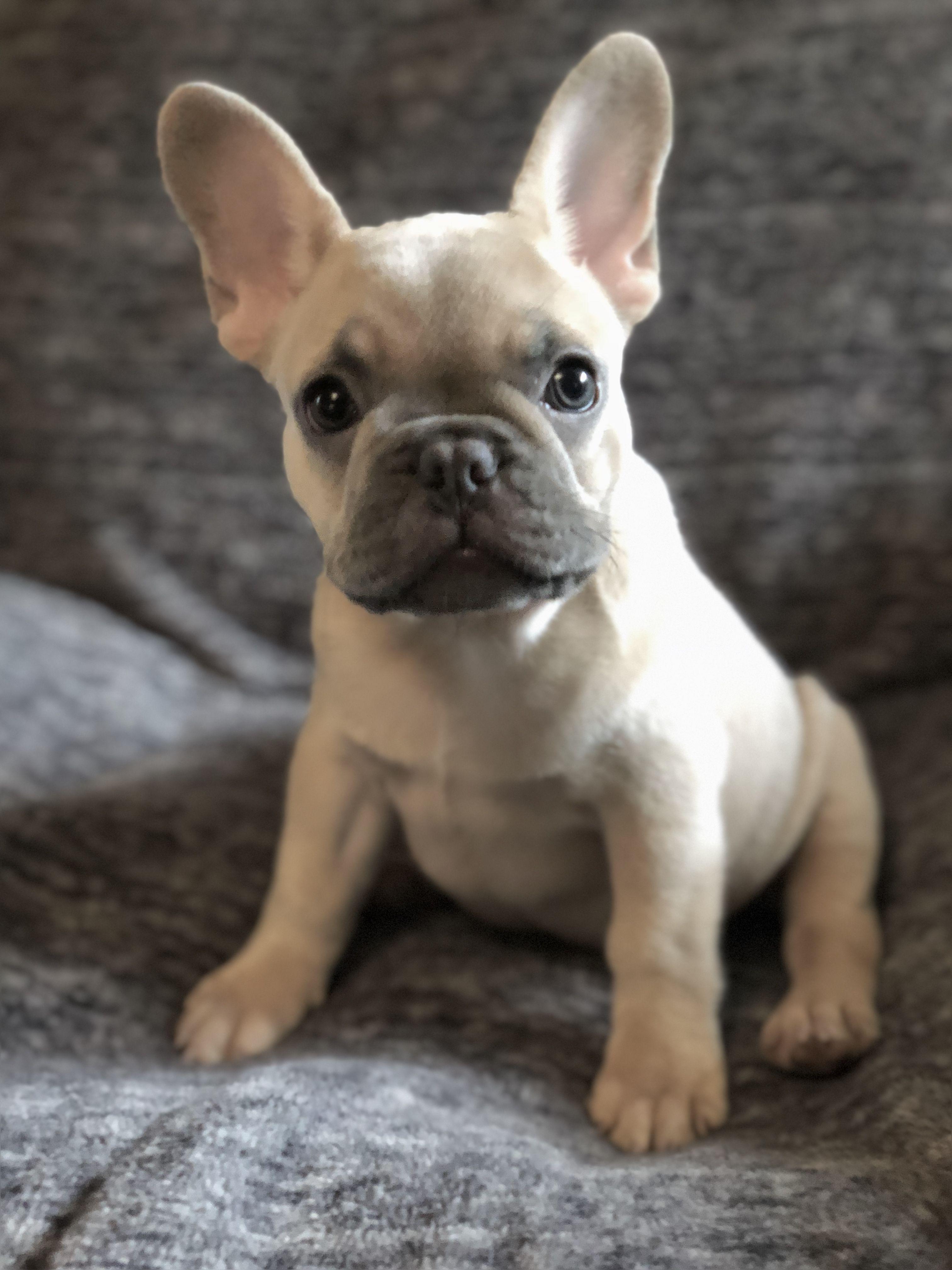 Deja Je Amore French Bulldogs Bulldog French Bulldog French