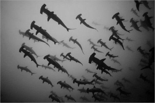 Hammerhead sharks.
