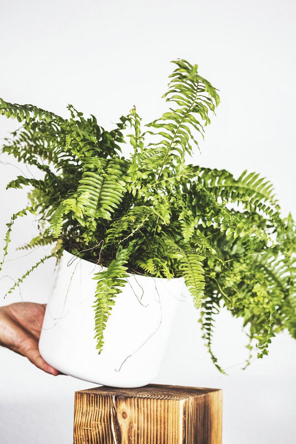 Schwertfarn Die Auffrischung Furs Bad Pflanzen Farn Zimmerpflanzen