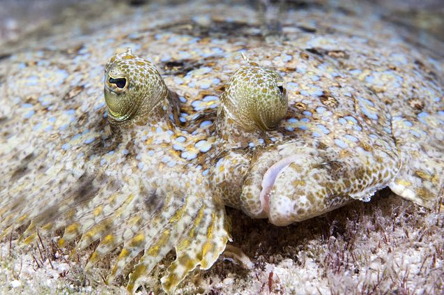 The flounder is also known as a flatfish; a fitting name because its body is laterally compressed.