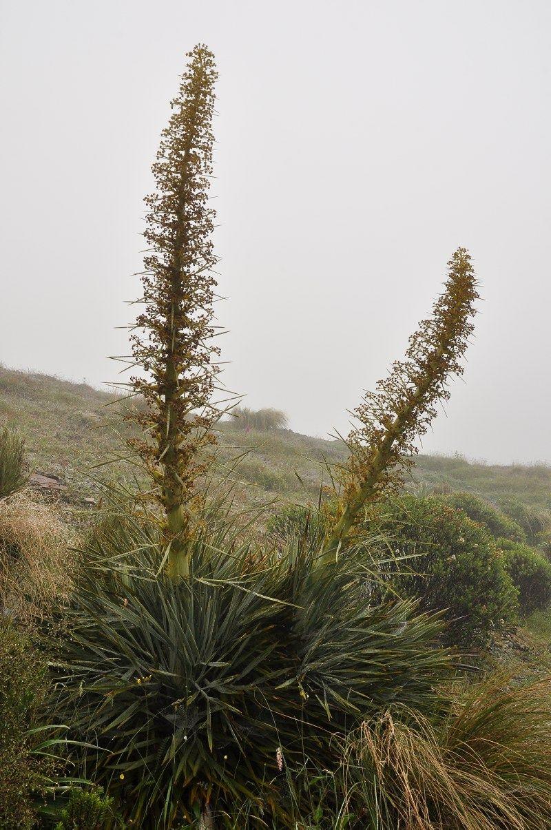 Photo Properties summary  details IPTC: Caption Aciphylla scott-thomsonii (female) IPTC: Country Name New Zealand IPTC: Province State nr. Lake Tekapo IPTC: City Mt. Dobson, 1090m IPTC: Credit © Harry Jans 2013