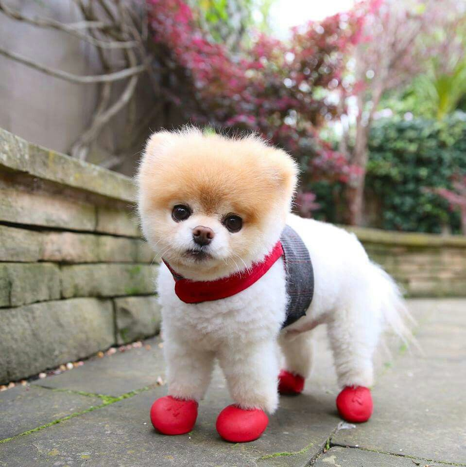 Can I Come Too Boo And Buddy Boo The Dog World Cutest Dog