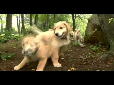 Dogs 101 Golden Retriever Beautiful Creatures