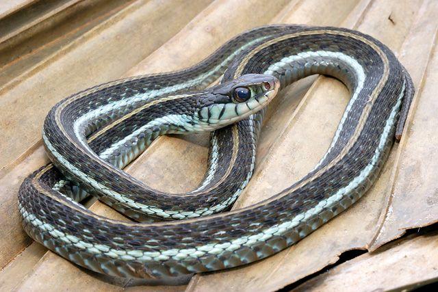 Florida Blue Garter Snake Credit Unknown Snake Sea Snake