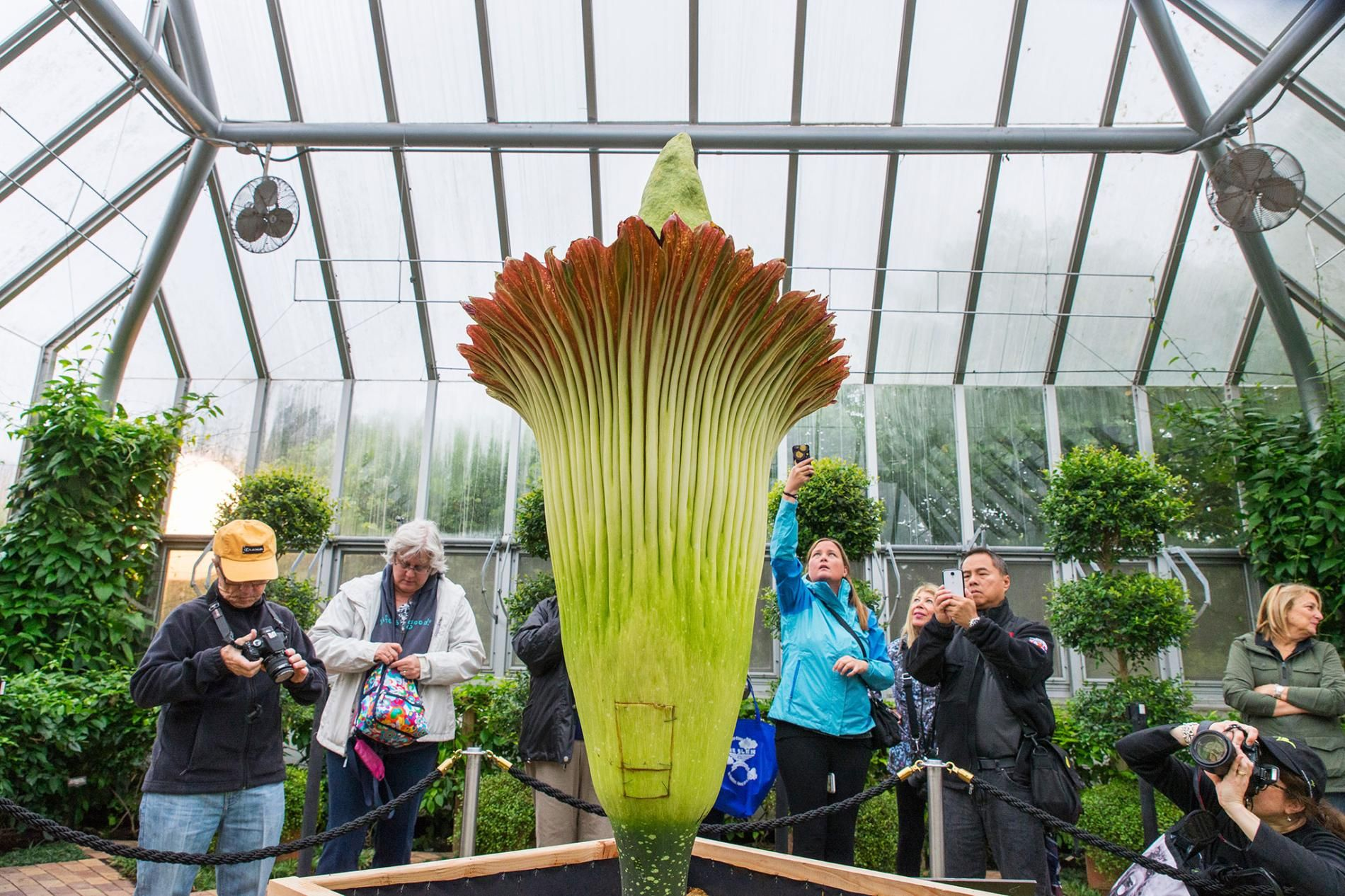What Makes The Corpse Flower Stink So Bad Corpse Flower Bloom Corpse Flower Chicago Botanic Garden